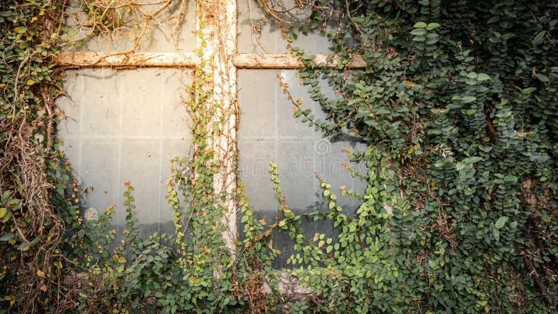 Klimplant het groeien op antiek muur en venster stock foto