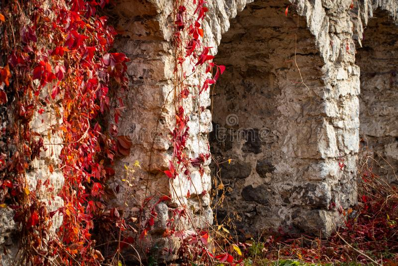 Klimplant met rode bladeren in de herfst op de oude steenmuur royalty-vrije stock afbeelding