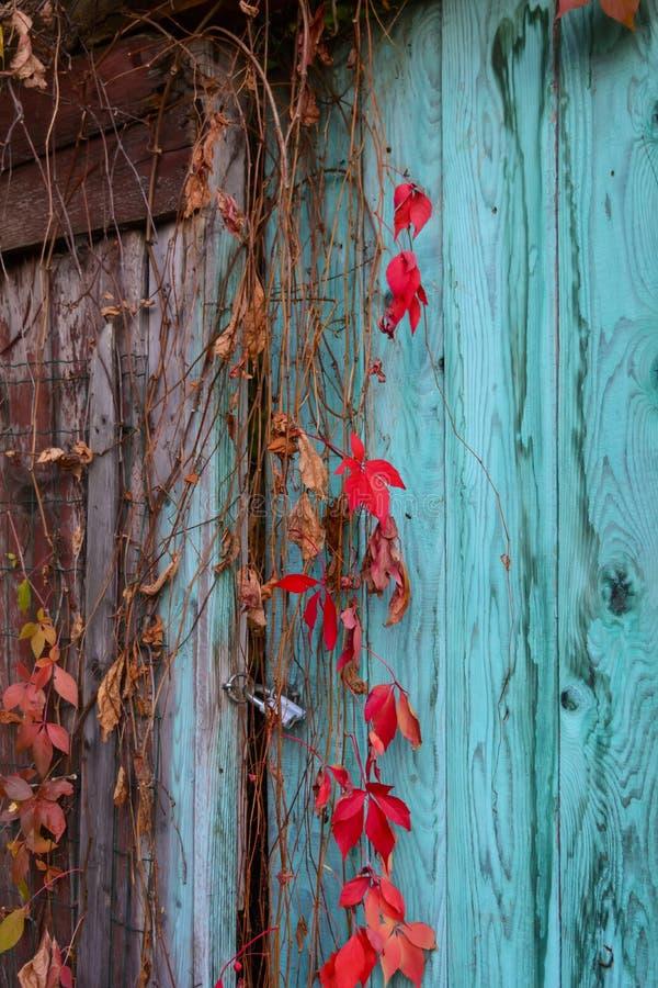 Klimplant op een oude deur stock foto's