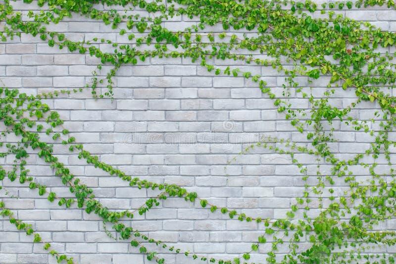 Klimplanten op een witte bakstenen muur stock foto