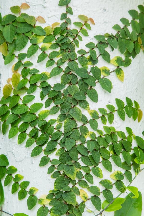 Klimplanten op witte muur stock afbeelding