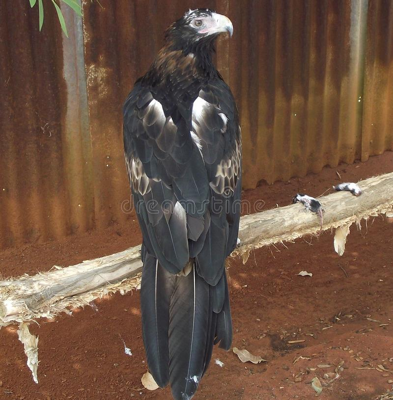 Klinu ogon Eagle fotografia stock