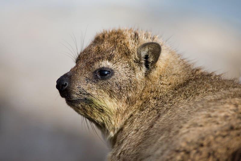 Klipdas, Hyrax de rocha, capensis do Procavia fotografia de stock