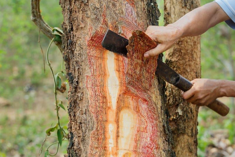 Klipp ner träd, apablommaträdet, pakistansk brand, skälltandkniven, Pradu trä, Burmapadauk, suddighet, mjuk fokus royaltyfri foto