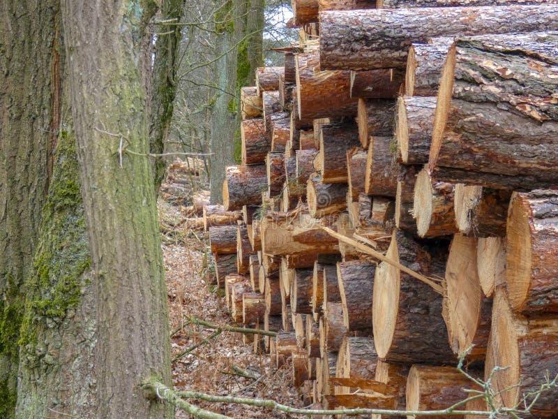 Klipp ner träd, i skogen nära Maarheeze, det nederländskt arkivfoton