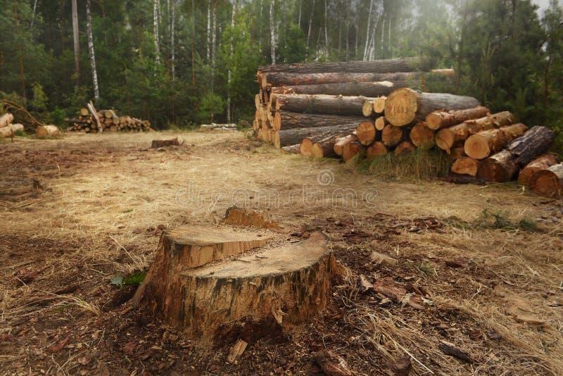 Klipp ner träd i skogen som en enorm stubbe från sörjer och avverkade träd i bakgrunden arkivbild