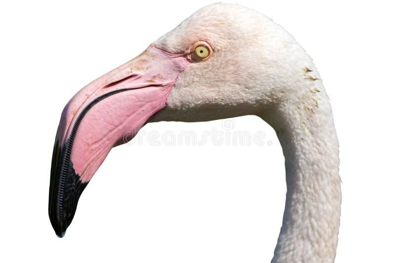Klipp ut huvudet av större flamingo som isoleras mot vit royaltyfri fotografi