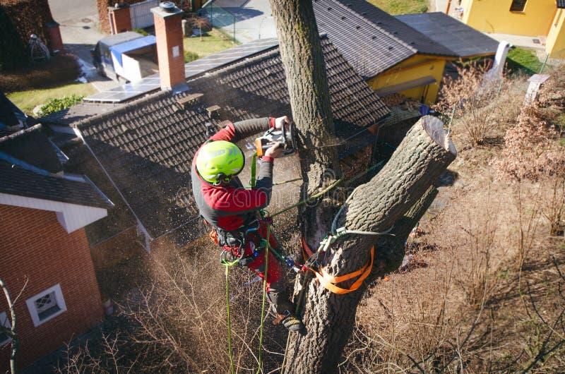 Klippa för Arboristman filialer med chainsawen och kastet på en jordning Arbetaren med hjälmen som arbetar på höjd på träden bråt royaltyfri bild