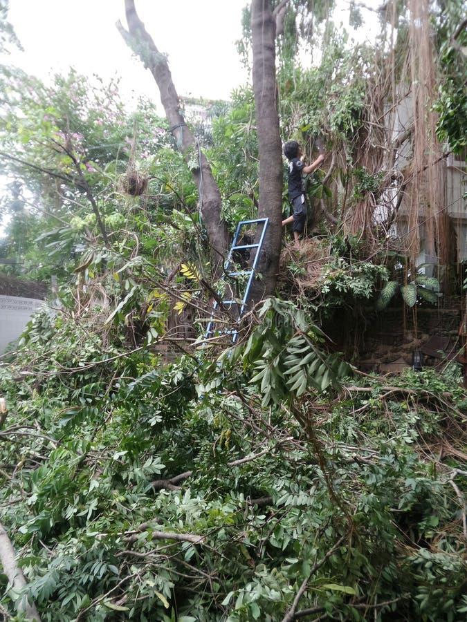 Klippa och klippa ett stort träd arkivfoton