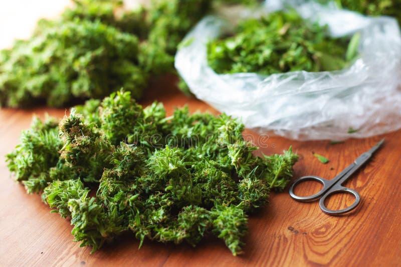 Klippa sidor och att sortera cannabisknoppar efter skörd, olagliga beskärarearbeten i USA för bearbeta av hampadroger royaltyfri bild