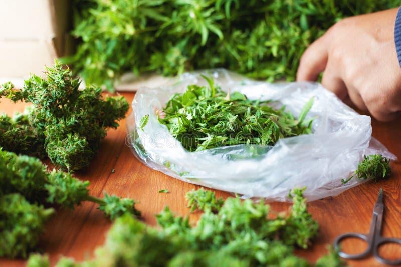 Klippa sidor och att sortera cannabisknoppar efter skörd, olagliga beskärarearbeten i USA för bearbeta av hampadroger arkivfoton