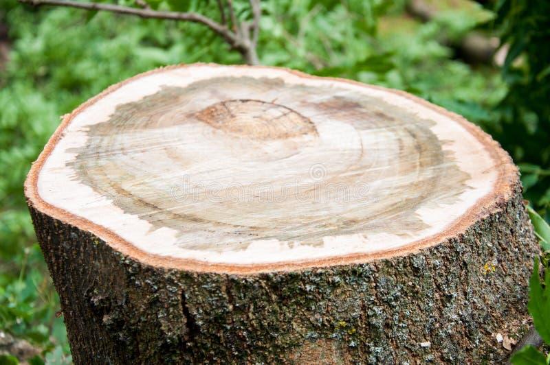 Klippt tjock trädstam Tr? texturerar royaltyfri foto