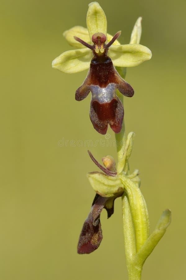 klipsk insectiferaophrysorchid royaltyfri bild