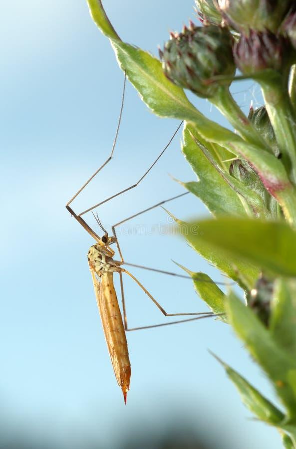 klipsk mygga för kran fotografering för bildbyråer
