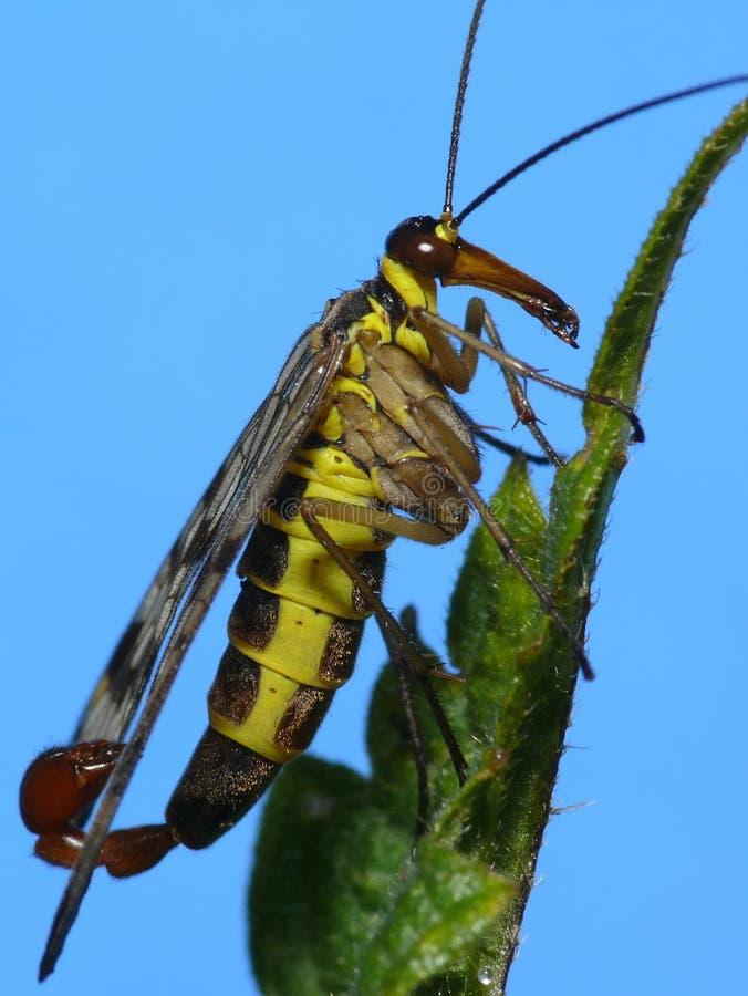 klipsk scorpion royaltyfri foto
