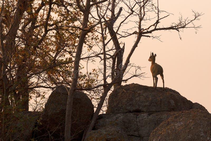 Klipspringer at dusk stock photography