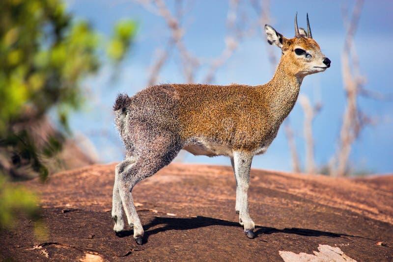 Klipspringer na rocha. Serengeti, Tanzânia, África foto de stock royalty free