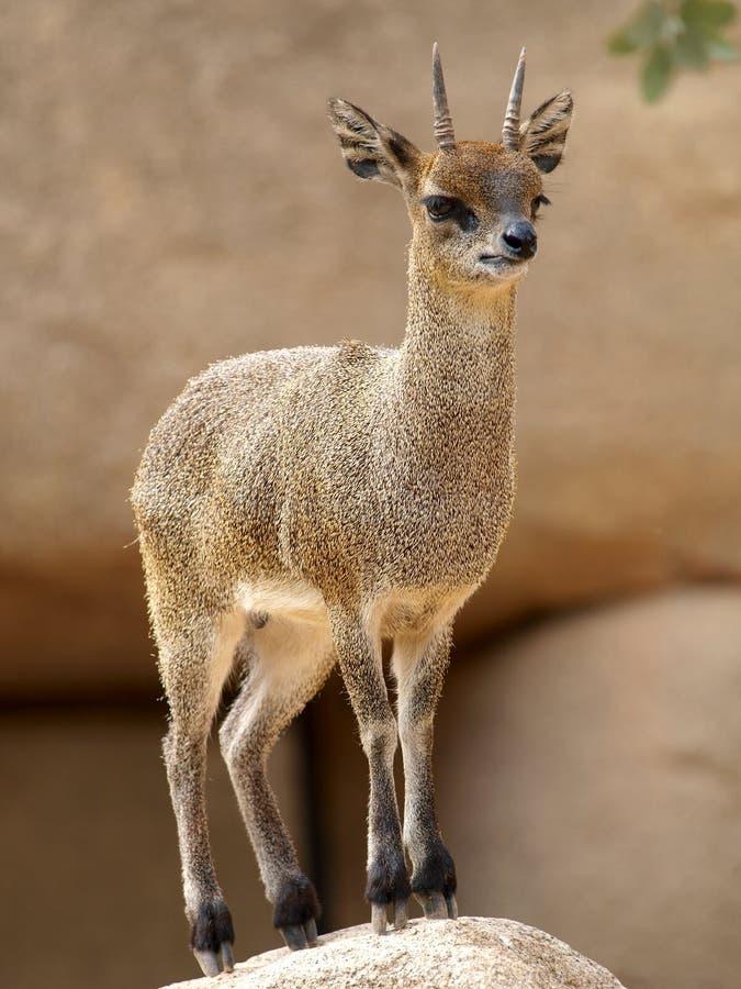 Klipspringer (oreotragus de Oreotragus) foto de stock royalty free