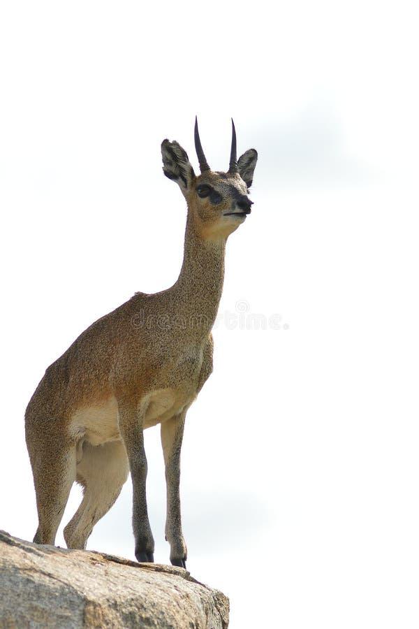 Klipspringer (oreotragus de Oreotragus) fotografia de stock royalty free