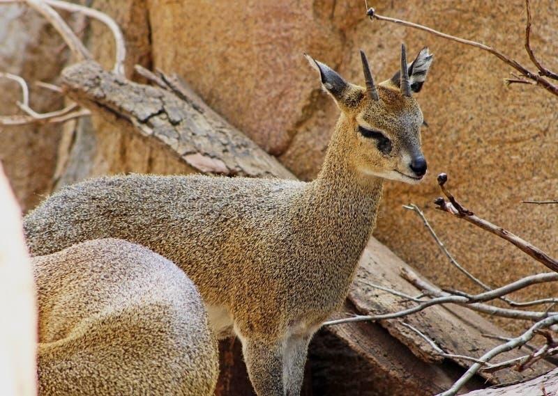 Klipspringer, oreotragus di Oreotragus, saltatore della roccia immagine stock