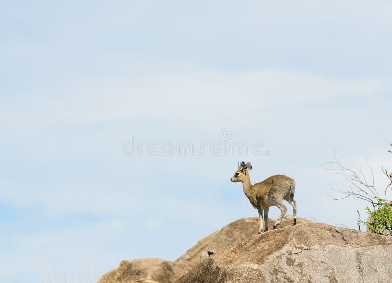 Klipspringer Oreotragus oreotragus stock fotografie