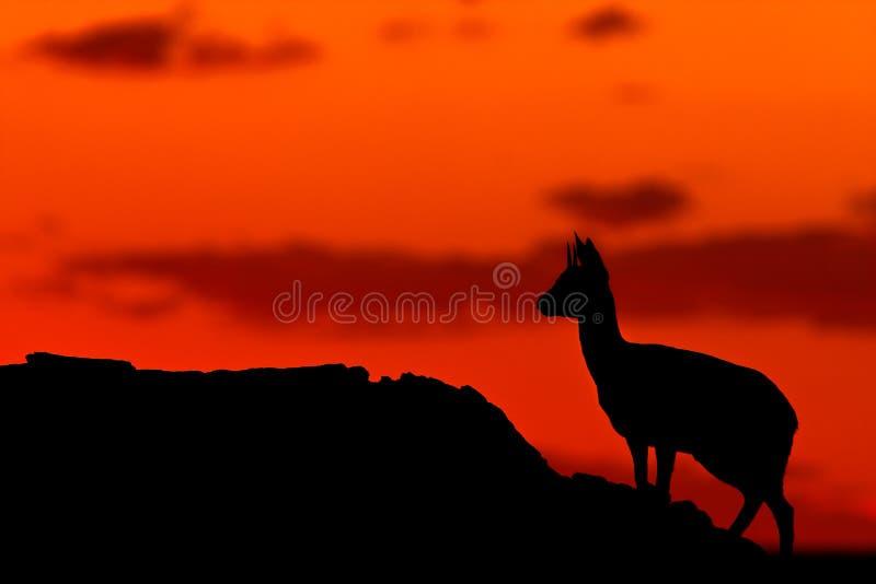 Klipspringer Schattenbild lizenzfreies stockfoto
