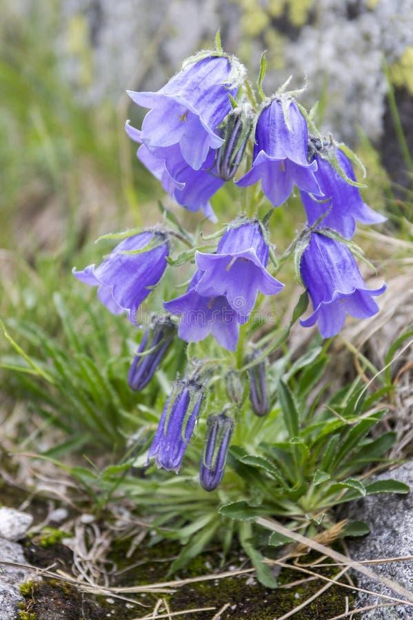 Klockblommaalpina, perenn blåklocka i blom i gräset, höga Tatra berg, Slovakien royaltyfri fotografi