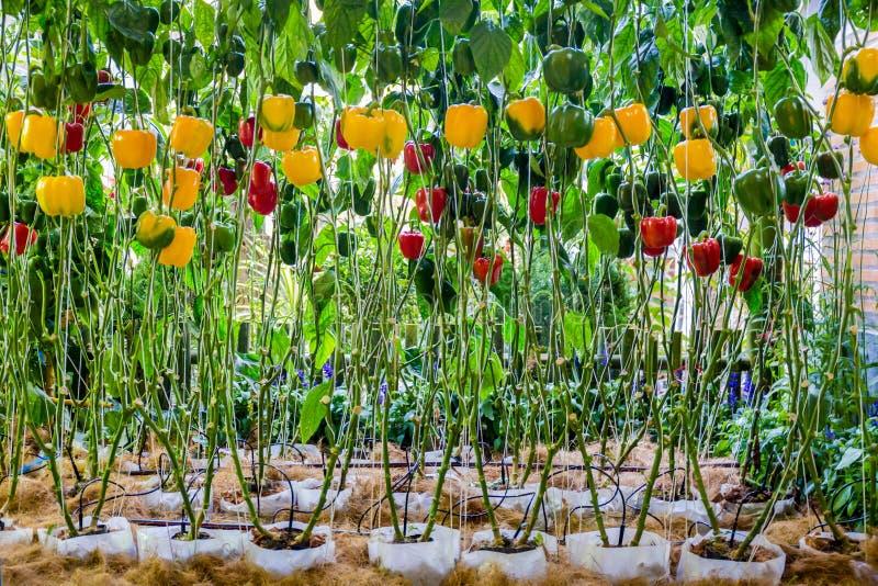 Klok paprika het groeien in het landbouw organische landbouwbedrijf stock afbeeldingen