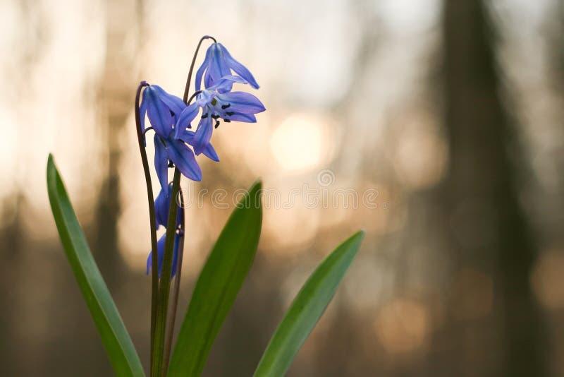 Klokje, sneeuwklokje in het bos, Lelietje-van-dalen bij zonsondergang, de lentebloem, de eerste bloem na de winter, klok, blauwe  stock afbeeldingen