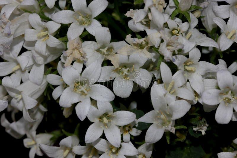 Klokjeportenschlagiana & x27; Het wit krijgt Mee& x27; , Dalmatische Bellflowers royalty-vrije stock afbeeldingen