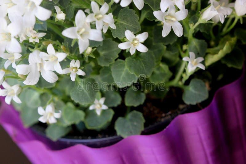 Klokjeportenschlagiana 'Wit krijgt Mee', Dalmatische Bellflowers stock afbeeldingen