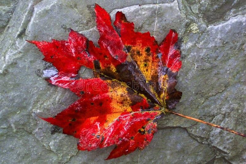 Download Klon gigantyczny liści zdjęcie stock. Obraz złożonej z jesienny - 32440