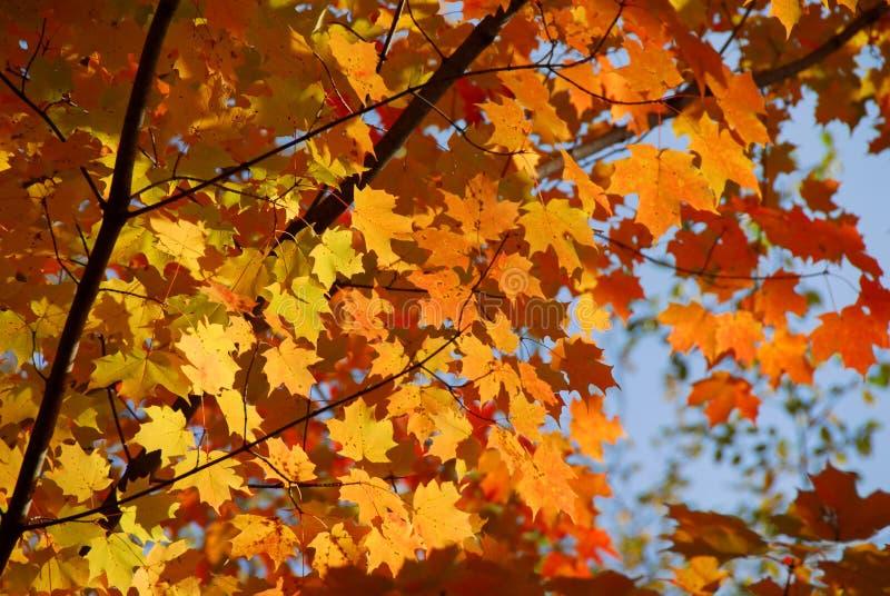 klon jesienią fotografia stock
