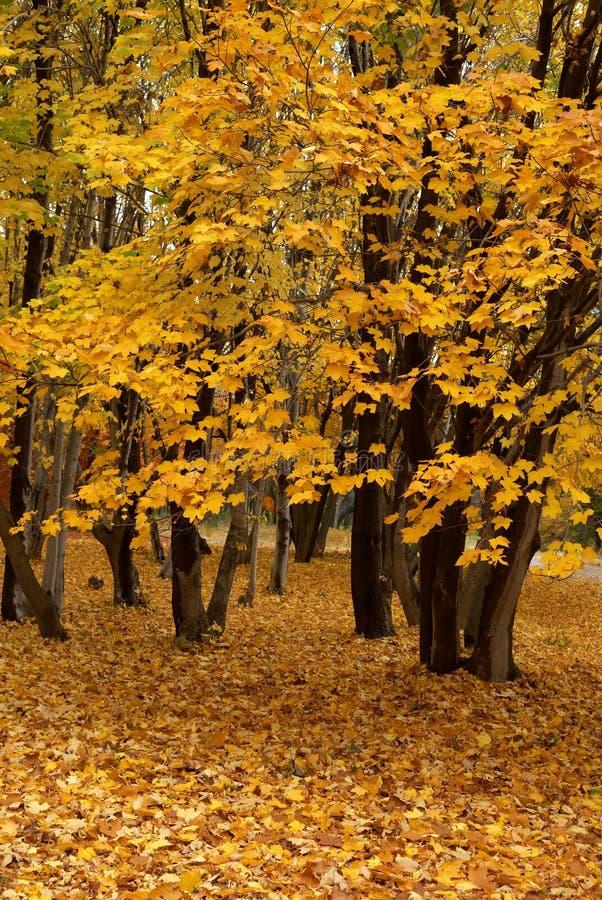 klon jesieni zdjęcie royalty free