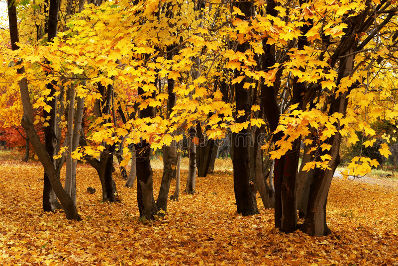 klon jesieni obrazy stock
