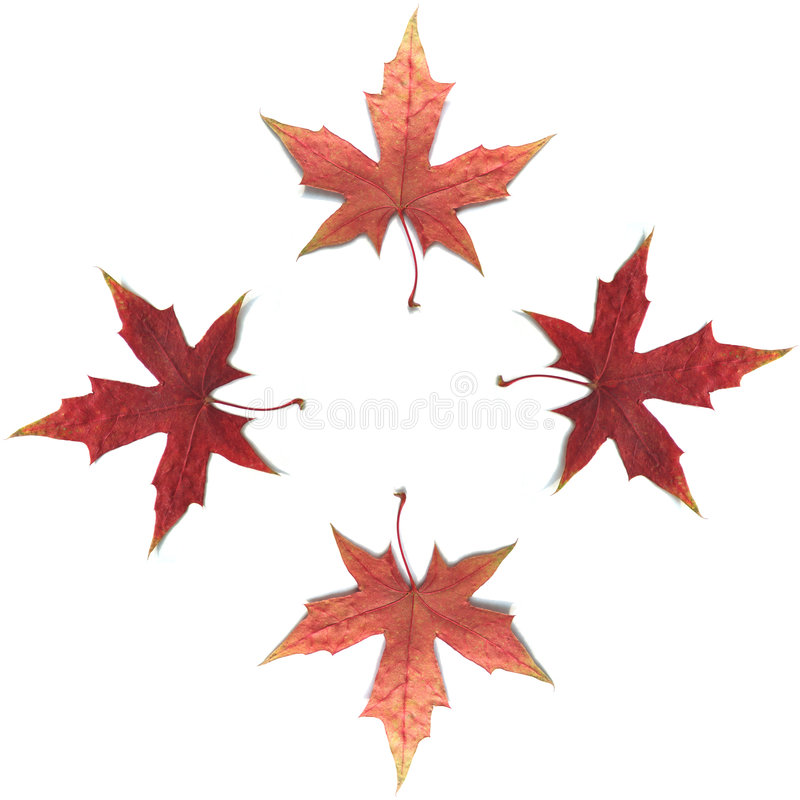 klon liści zdjęcie stock