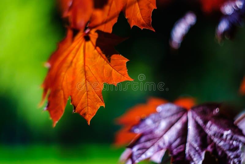 klon liści obrazy stock