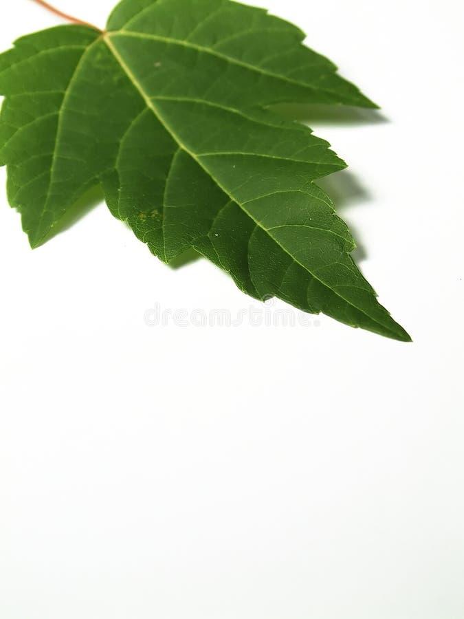 Download Klon liści zdjęcie stock. Obraz złożonej z naturalny, natura - 27566