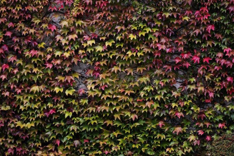 Klon na ścianie zdjęcie royalty free