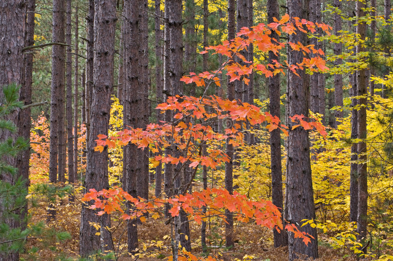 klon sosny jesieni fotografia stock