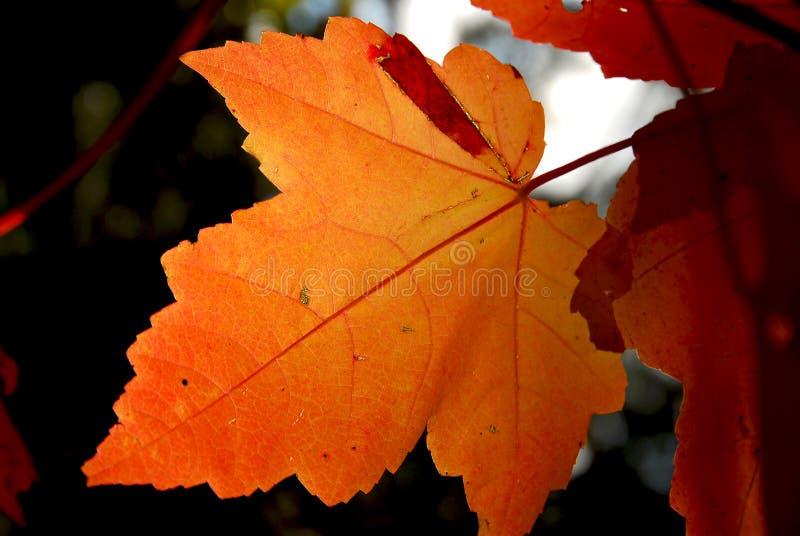 klon upadku liści zdjęcie stock