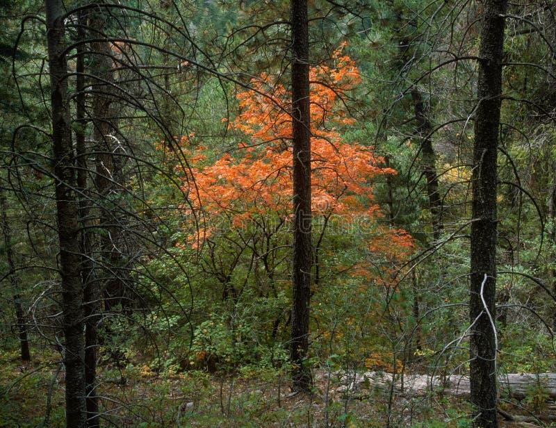 Klon wzdłuż Sacramento obręcza śladu, Lincoln las państwowy, Nowy - Mexico fotografia royalty free