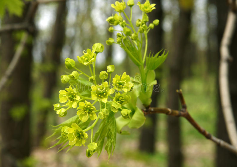 Klonowa gałąź z kwiatami obrazy stock