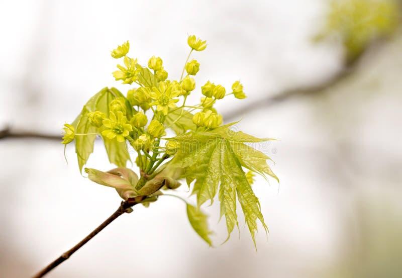 Klonowego drzewa liście i kwiaty fotografia stock