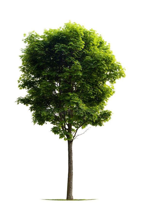 klonowego drzewa potomstwa obraz stock