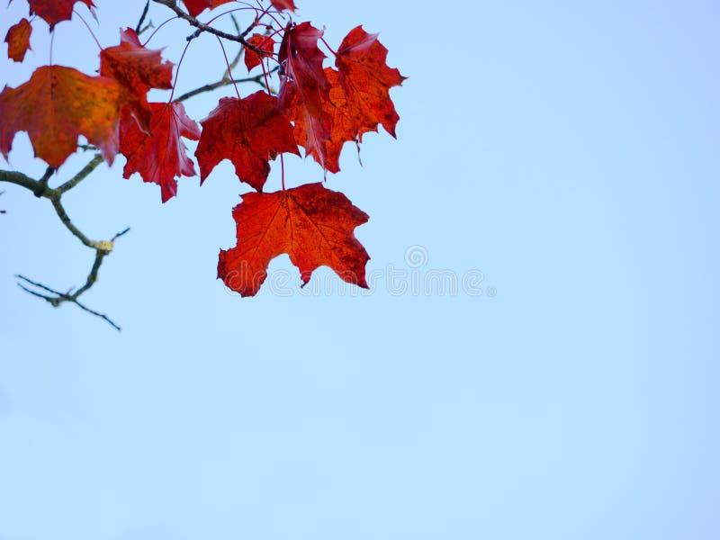Klonowego drzewa wierzchołek Klonowy drzewo z krwistymi, żółtymi, pomarańczowymi, czerwonymi liśćmi klonowymi z niebieskim niebem fotografia royalty free