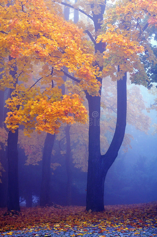 Klonowi drzewa obrazy royalty free