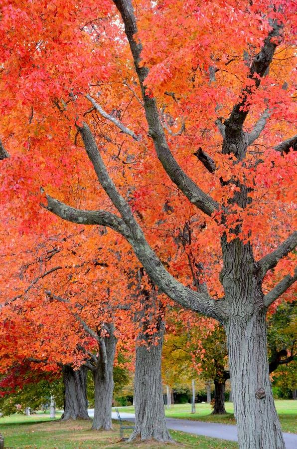 Klonowi drzewa zdjęcie royalty free