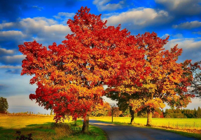 Klonowi drzewa z barwionymi liśćmi i asfaltową drogą przy jesienią, spadku światłem dziennym/ zdjęcia stock