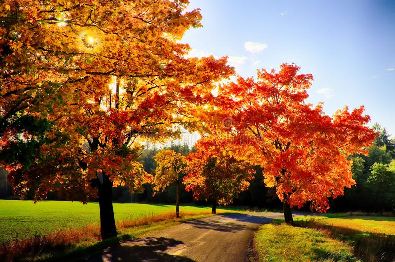 Klonowi drzewa z coloured li??mi wzd?u? asfaltowej drogi przy jesieni?, spadku ?wiat?em dziennym/ obraz stock